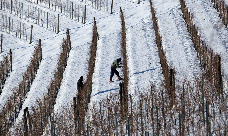 Wijngaard Pecchenino in de sneeuw