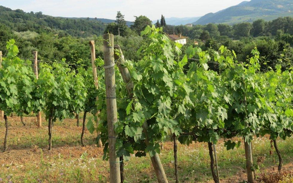 Druivensoort Canaiolo