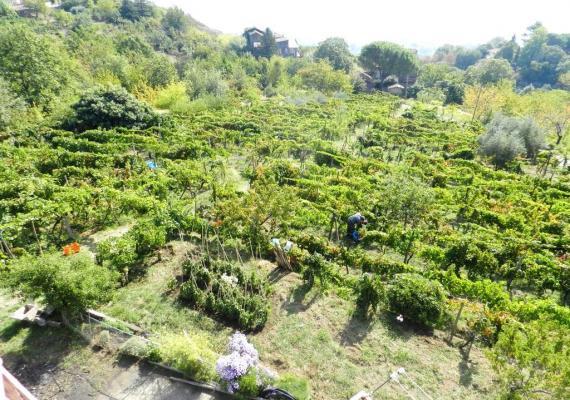 Wijngaard met carricante aangeplant