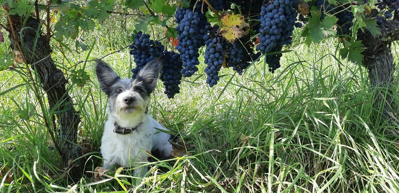 Barbera wijndruif