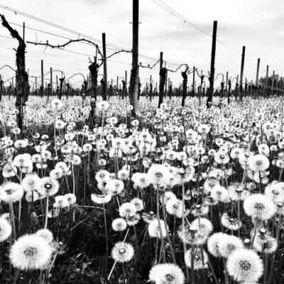 Di Lenardo wijngaard 1
