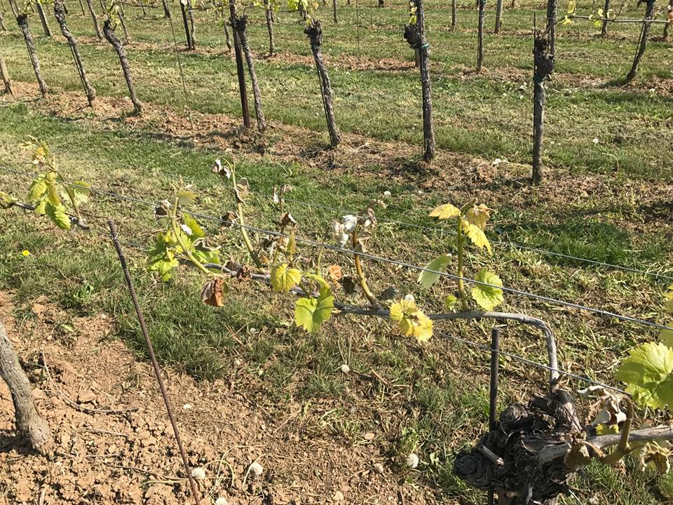 Di Lenardo wijnstokken