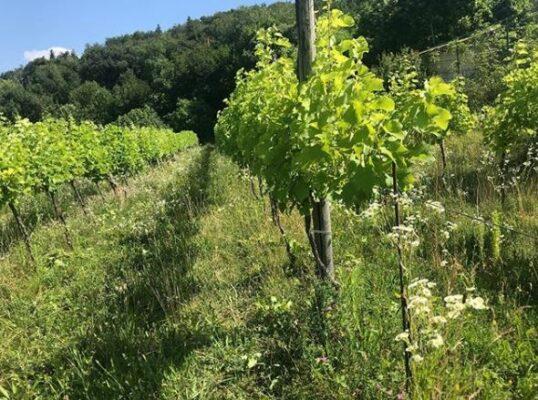 Divella wijngaard natuur